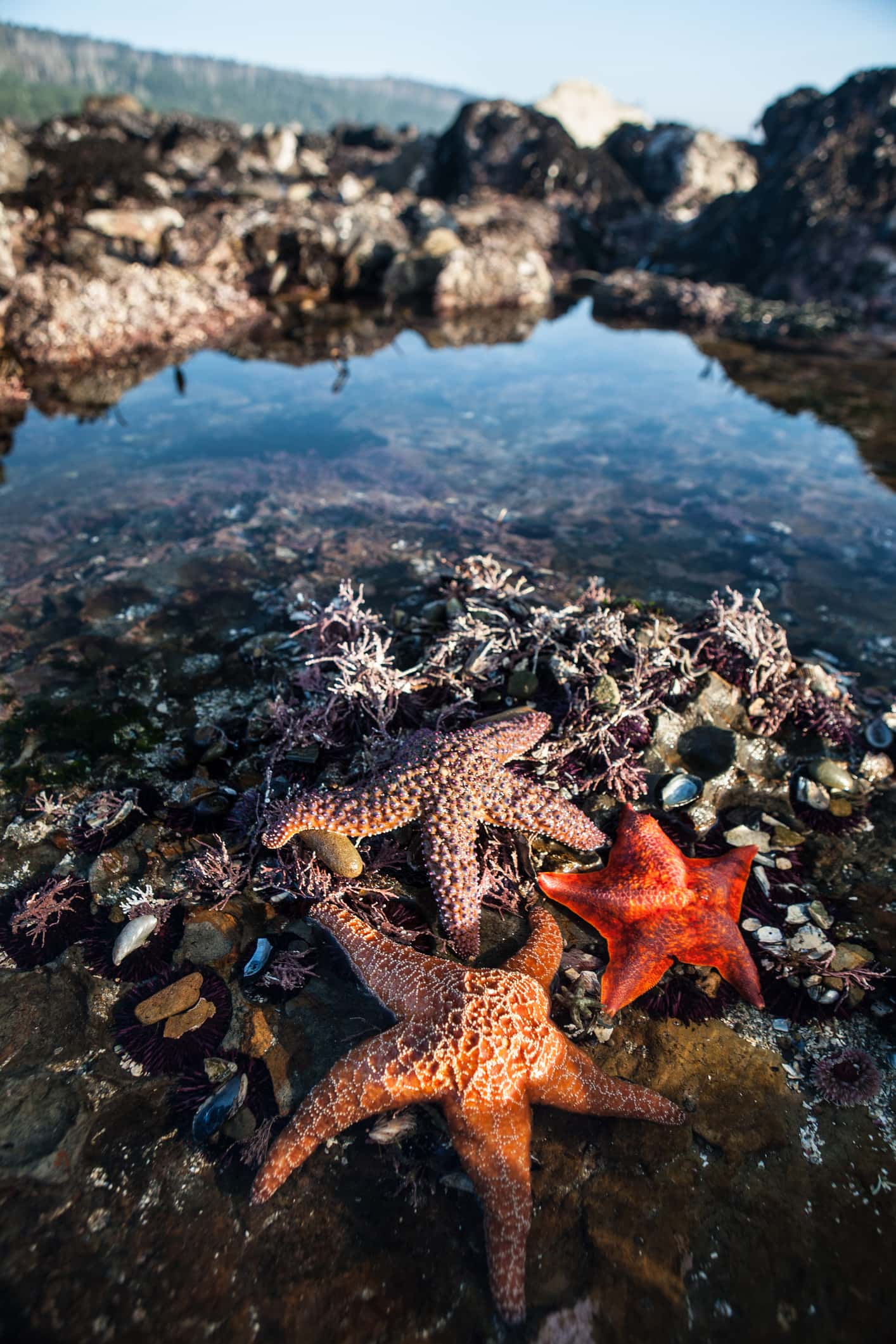 Colorful Starfish in Tide Pool